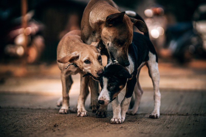 Things to Consider Before Adopting A Street Dog as a Pet