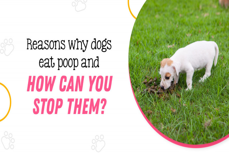 Reasons Why Dogs Eat Poop & How Can You Stop Them?