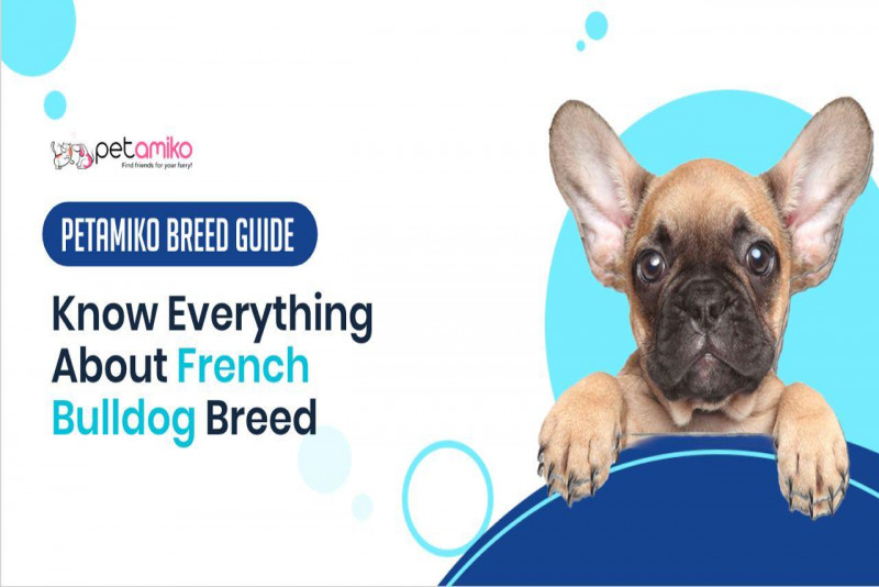 Know Everything About French Bulldog - Petamiko Breed Guide
