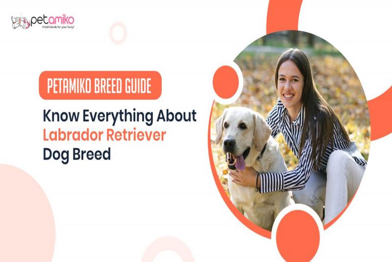 Know Everything About Labrador Retriever Dog - Petamiko Breed Guide