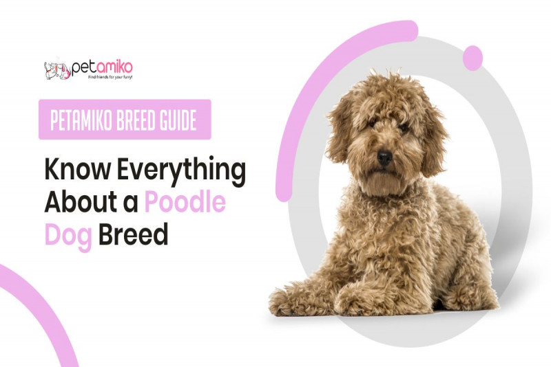 Know Everything You Should Know About a Poodle Dog - Petamiko Breed Guide