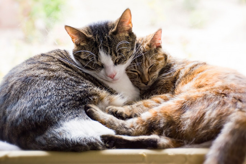 Things to Consider When Getting a New Companion for Your Cat